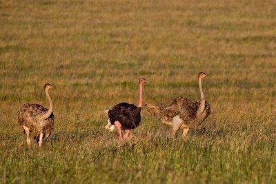 Ostriches 22