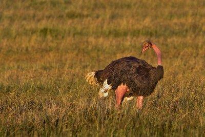 Ostriches 23