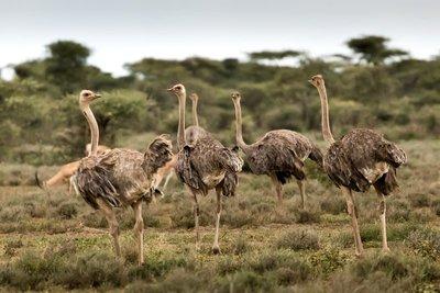 Ostriches 3