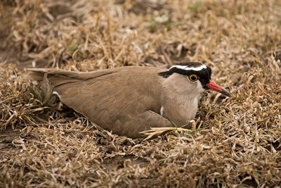 Plover, Crowned 4