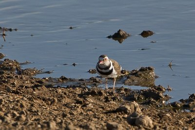 Plover, Three Banded 21