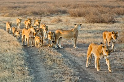 Pride of Lions 2