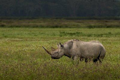 Rhino, Black 1