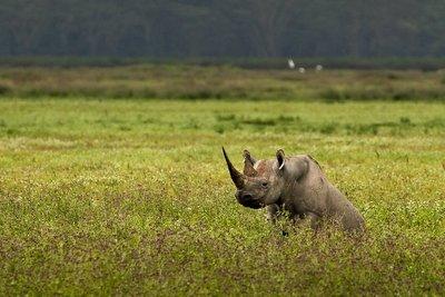 Rhino, Black 3