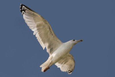 Seagull 53