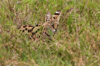 Serval 10-4