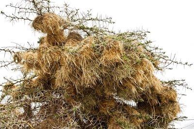 Social Weaver Nests 2