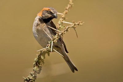 Sparrow, Rufous 1