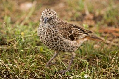 Starling, Ashy 1