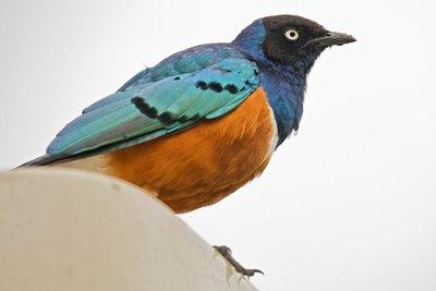 Starling, Superb 1