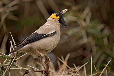 Starling, Wattled 33