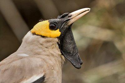 Starling, Wattled 34