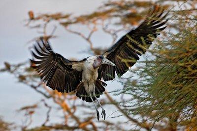 Stork, Marabou 101