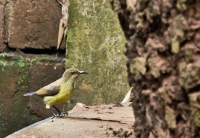 Sunbird, Yellow Bellied 3