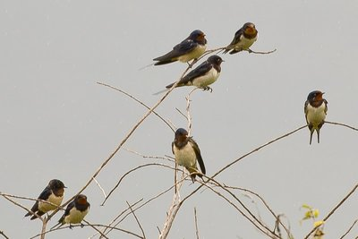 Swallows, Wire Tailed 3