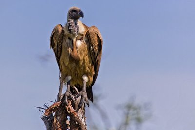 Vulture, African White Backed 10-51