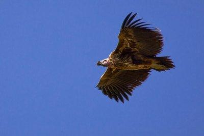 Vulture, Lappet Faced 10-53