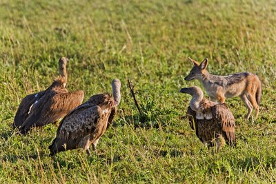 Vultures, African White Backed and Black Backed Jackal 10-1