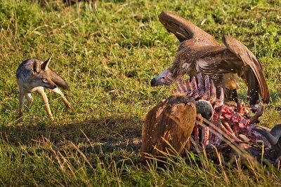 Vultures, African White Backed and Black Backed Jackal 10-2