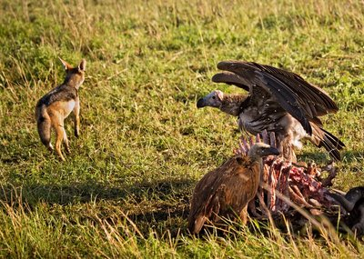 Vultures, African White Backed and Black Backed Jackal 10-3