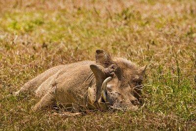 Warthog 34