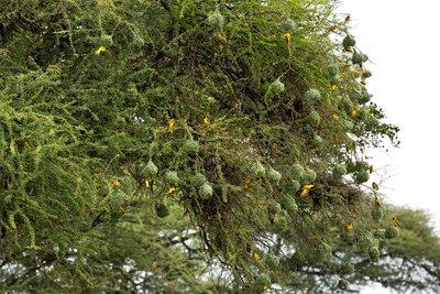 Weaver Nests (Lesser Masked) 2