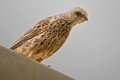 Weaver, Rufous Tailed 1