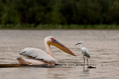 White Pelican and Little Egret 2