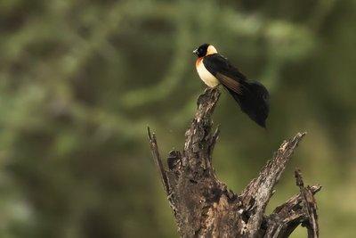 Whydah, Broaad Tailed Paradise 1
