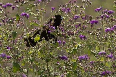 Widow Bird, Fan Tailed 31