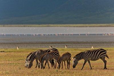 Zebras 10