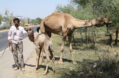 baby_camel.jpg