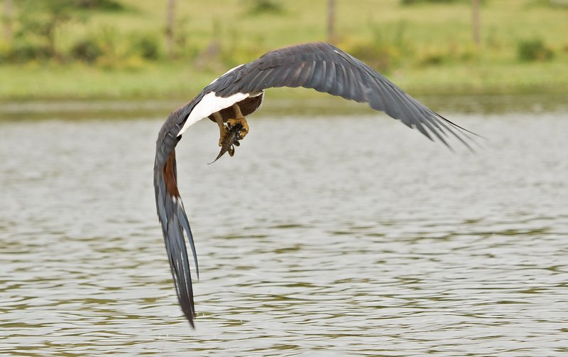 large_African_Fish_Eagle_7.jpg