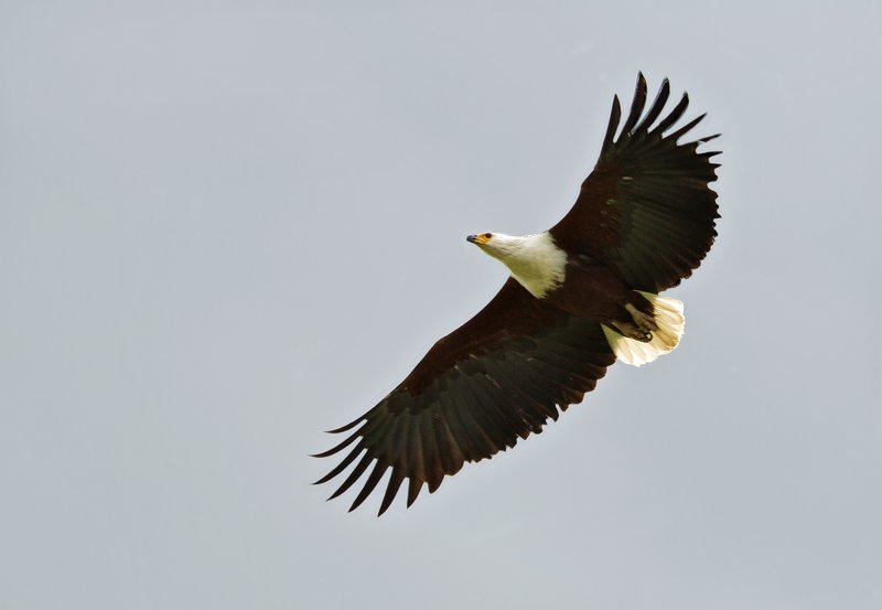 large_African_Fish_Eagle_9.jpg