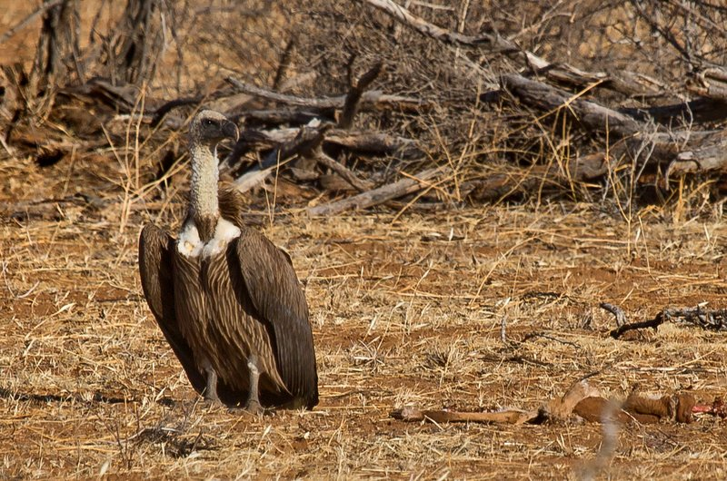 large_African_Wh.._Vulture_23.jpg