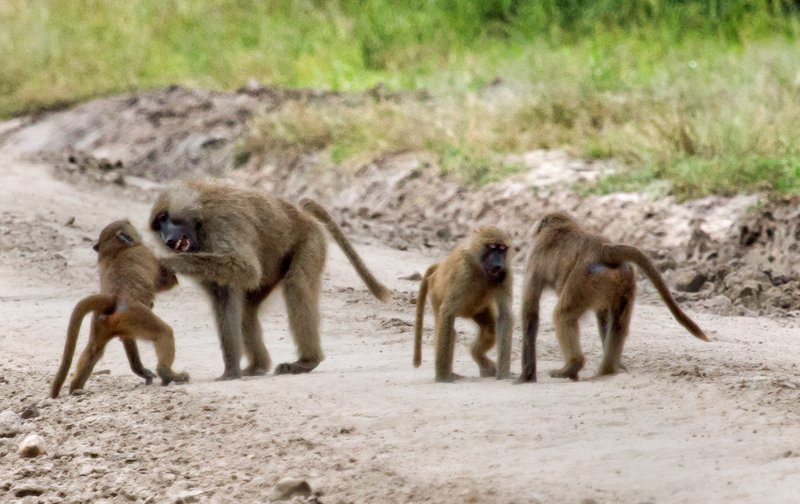 large_Baboons_5-18.jpg