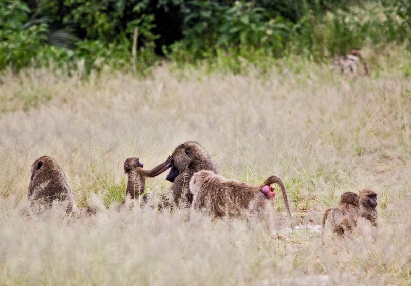 large_Baboons_5-20.jpg