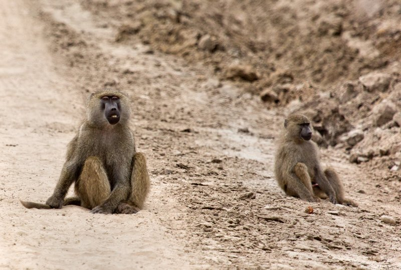 large_Baboons_5-21.jpg