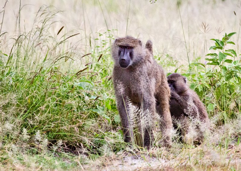 large_Baboons_5-25.jpg