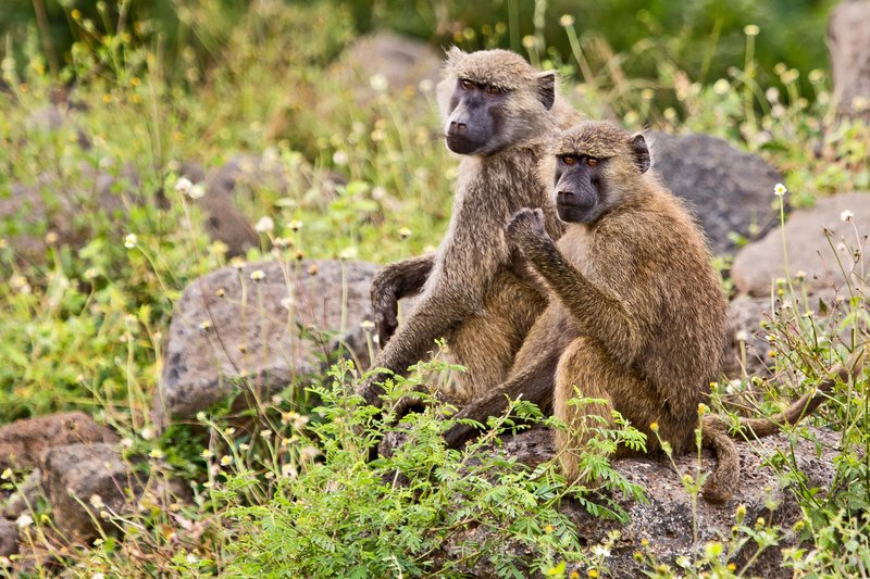 large_Baboons_6-4.jpg