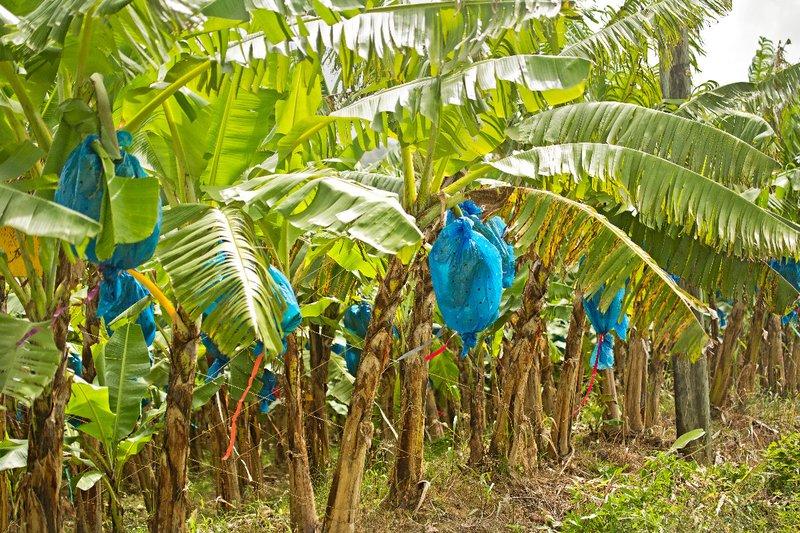 large_Banana_Plantations_2.jpg