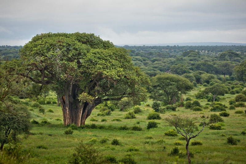 large_Baobab_2.jpg