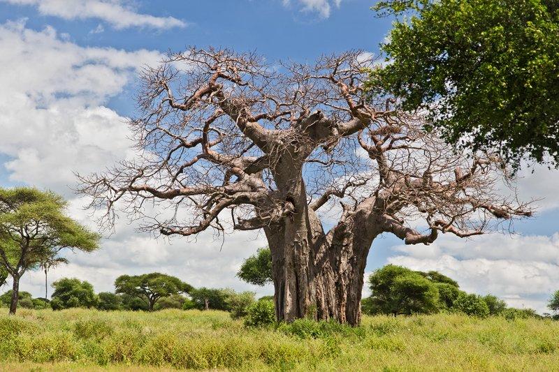 large_Baobab_Tree_5-51.jpg