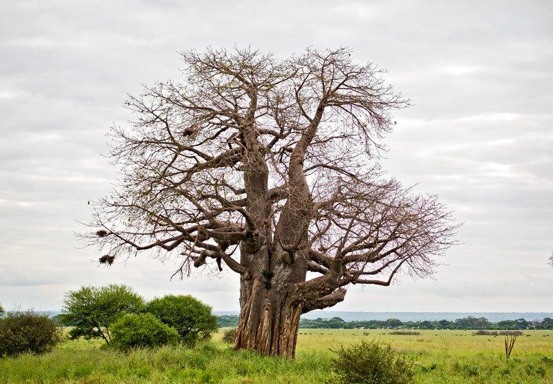 large_Baobab_Trees_5-2.jpg