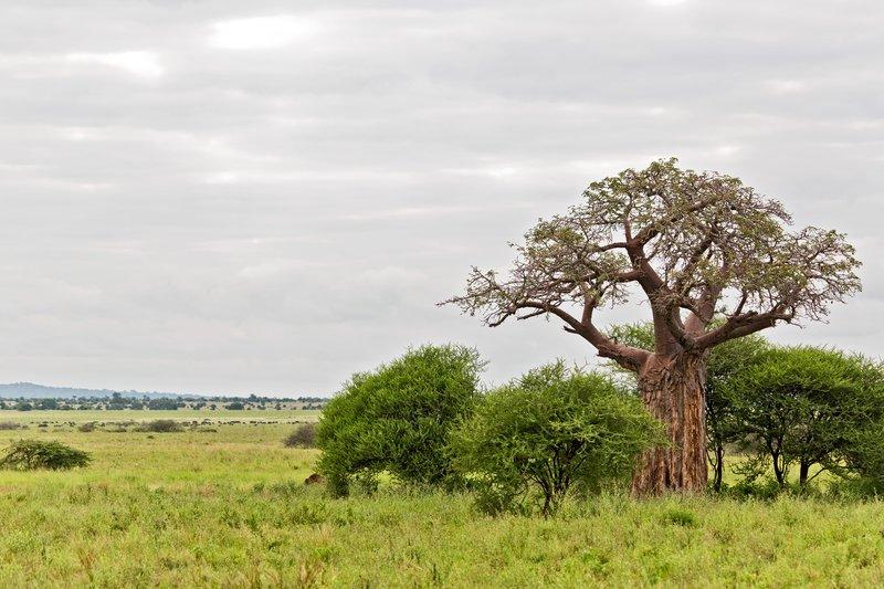 large_Baobab_Trees_5-3.jpg