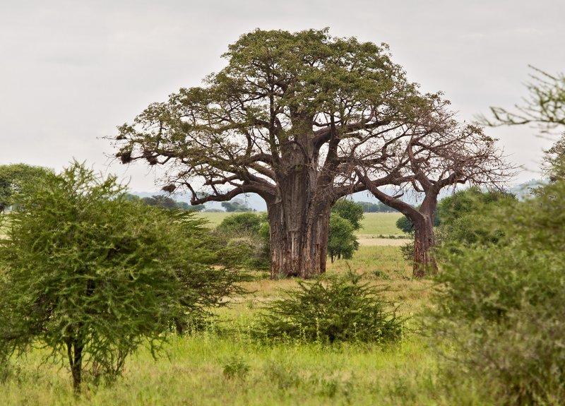 large_Baobab_Trees_5-6.jpg