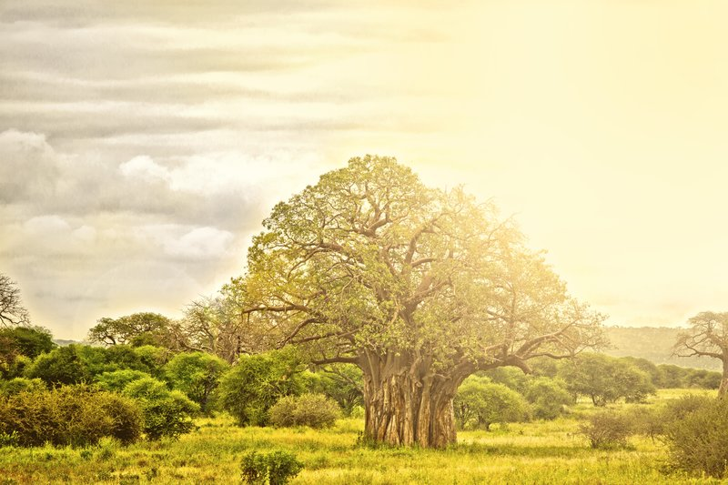 large_Baobab_Trees_5-8.jpg