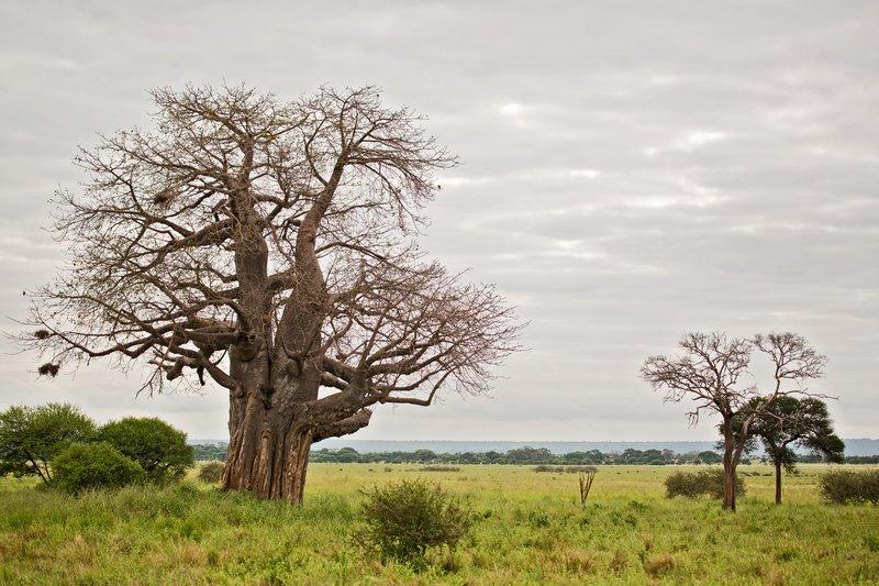 large_Baobab_Trees_5-9.jpg