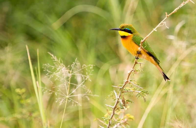 large_Bee_Eaters__Little_5-3.jpg