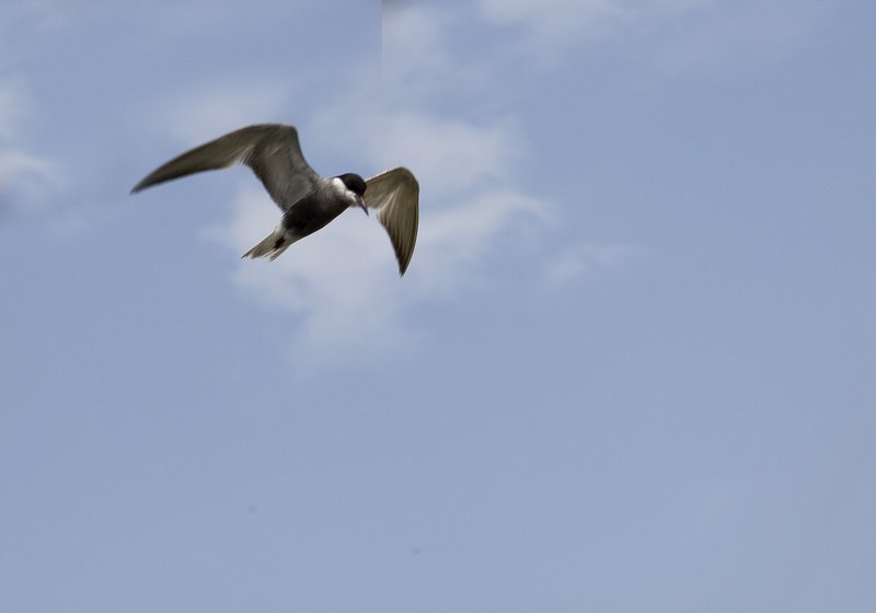 large_Black_Bellied_Tern_1.jpg